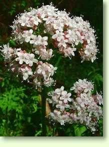 Baldrian / Valeriana officinalis
