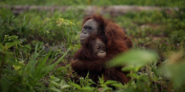 Bir de orangutanlardan dinleyelim: Palm yağı gerçekleri