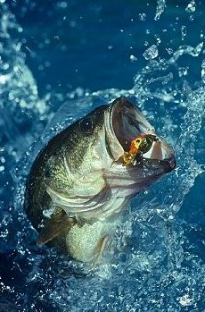 Bass Fishing: The most Sought after Fishing Game - http://bassfishingmaniacs.com/bass-fishing-the-most-sought-after-fishing-game/