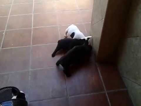 +WUAPO MODA CANINA Y MAS: Bulldog francés