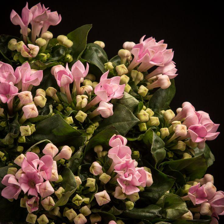 Certi Bouvardia Royal Sweet rosa, roze, boeket, snijbloemen, Certi #Bloemen, #Planten, #webshop, #online bestellen, #rozen, #kamerplanten, #tuinplanten, #bloeiende planten, #snijbloemen, #boeketten, #verzorgingsproducten, #orchideeën