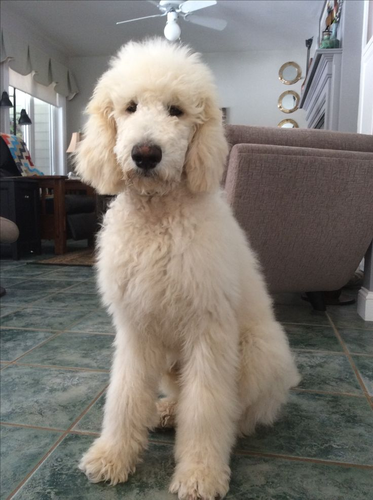 Odie Before His Big Boy Haircut