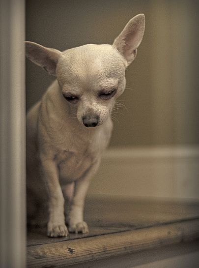 Best 25+ Chihuahuas ideas on Pinterest | Chihuahua ... - photo#37