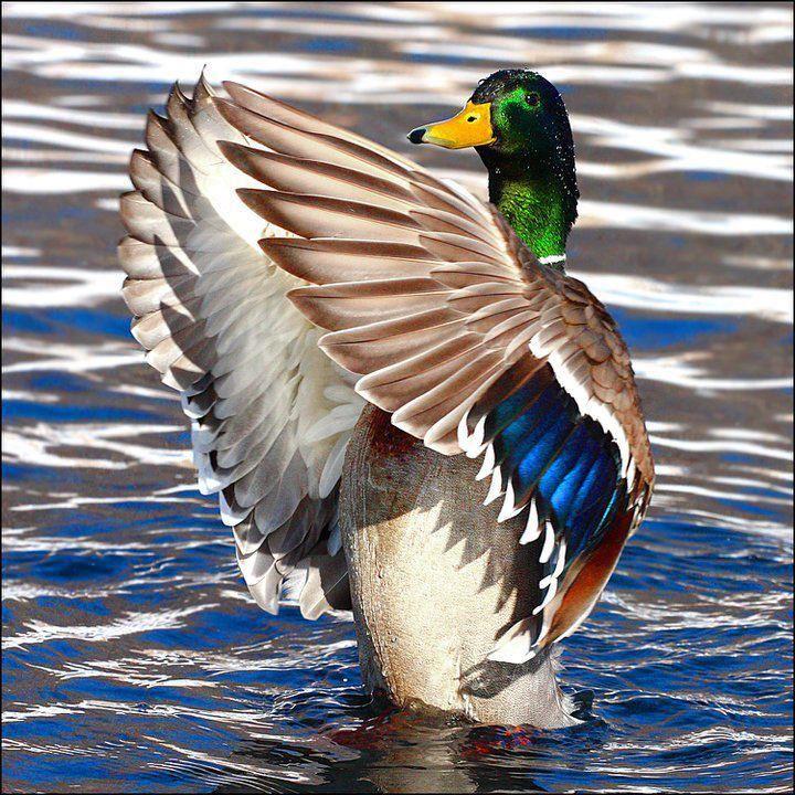 Mallard Duck #Wetsealsummer #Contest