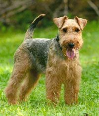 'The Welsh Terrier' is claimed to be the oldest existing dog breed in the UK. The Welsh Terrier was originally known as the Old English Terrier or Black-and-Tan Wire Haired Terrier. Welsh Terriers' native home is Wales, where they were used extensively as a Sporting dog and renowned for hunting badger, fox, and otter. Friendly and spirited; they need to have their coat plucked several times a year and their bushy facial hair should be combed twice a week.