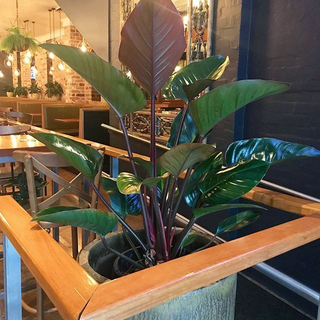 This gorgeous Philodendron Rojo Congo is very happy in it's new home - this impressive concrete pot at the entrance to @fire_house_hotel . Renovations are nearly complete... Make sure you come check it out! The food is awesome 😄😄👍👍
