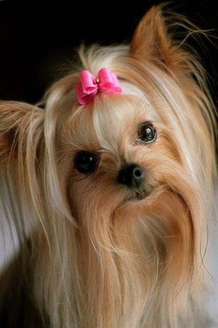 Capri Jewelers Arizona ~ www.caprijewelersaz.com ♥ Sending Some Special Puppy Love ♥ Yorkie. Wow, high maintenance grooming, but adorable