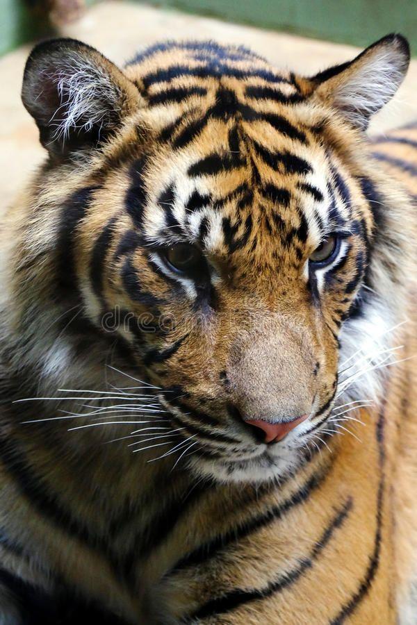 Tiger, Friendly Animals At The Prague Zoo. Stock Photo