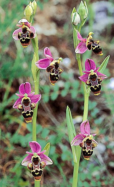 Ophrys apifera, known in Europe as the bee orchid. The bee orchid symbolises industry in the Victorian language of flowers.