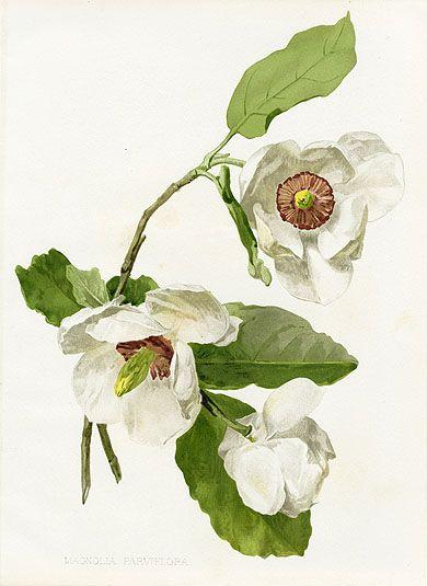 W. Robinson Flora  Sylva Prints by HG Moon 1903 Magnolia Parviflora