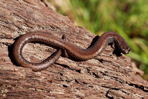 De California Slanke Salamander, Batrachoseps attenuatus (Plethodontidae), is een klein, slank, lungless salamander, met 18 -21 ribben groeven, korte ledematen, een lange slanke lichaam met een smalle kop en een lange staart, en opvallende ribben en caudale groeven die geven deze soort de worm-achtige uiterlijk typisch voor de meeste Slender Salamanders.