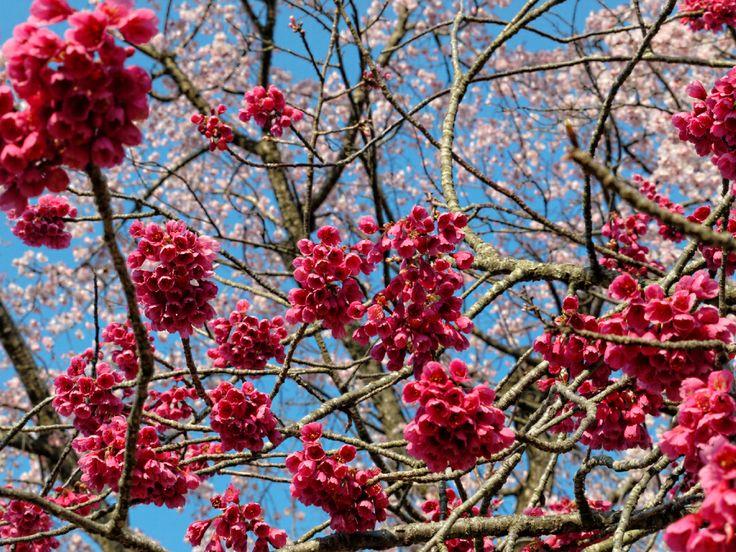 [3/28(Fri) 北本市子供公園] カンヒザクラ(寒緋桜)