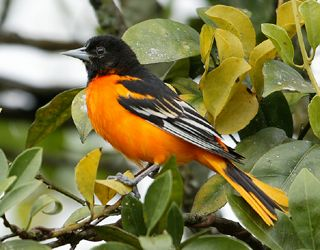 BALTIMORE ORIOLE BIRD - We see these beautiful birds every year!