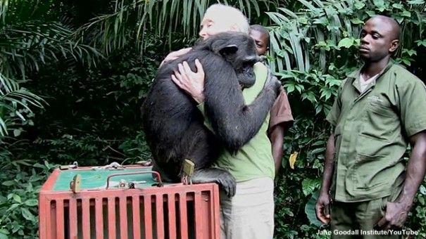 Chimpanzee Hugs Jane Goodall At Final Goodbye
