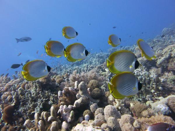 Se trata de uno de los peces de agua salada más populares en la acuariofilia marina. A diferencia de algunos ejemplares mencionados, el pez mariposa narizona o pez mariposa de nariz alargada no es una especie amenazad