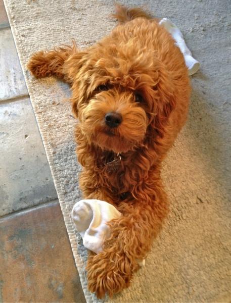 Why do doodles love socks!! Goldendoodle Pinterest