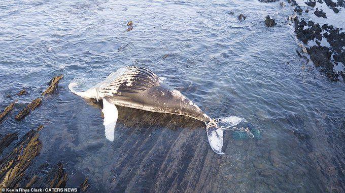 صور حزينة تم إلتقاطها في جنوب أفريقيا عن طريق طائرة درون لحوت أحدب عثر عليه على أحد الشواطئ مع حبال متشابكة حول ذيله و يبدو Memphis Zoo Pics Interesting Art