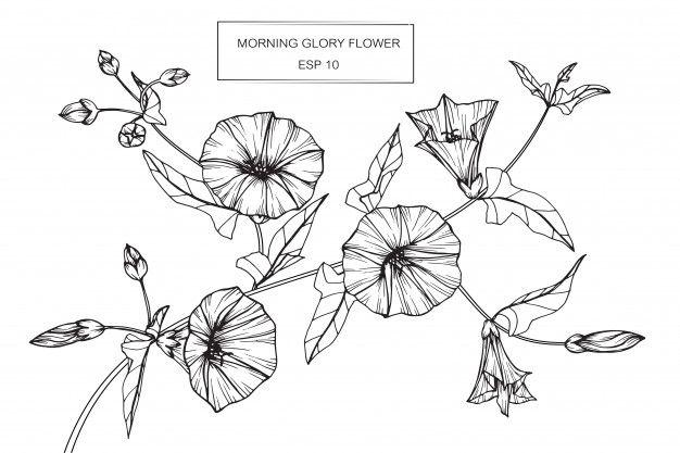 Morning Glory Tattoo Black And White Google Search Morning Glory Tattoo Flower Drawing Morning Glory Flowers