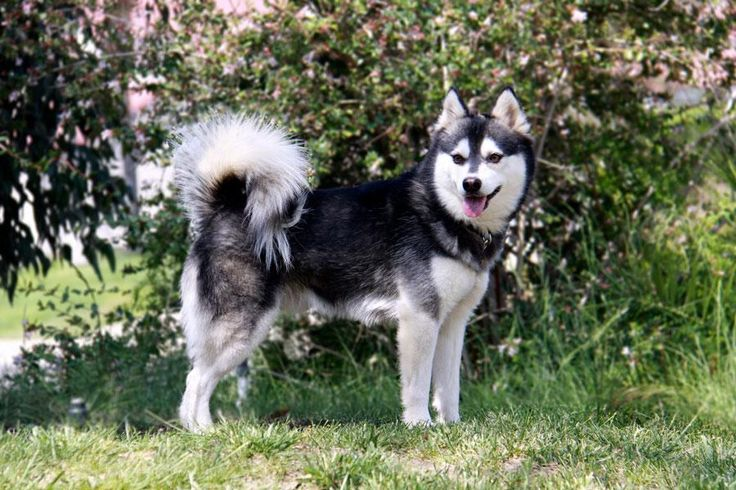 "Alaskian Klee Kai, northern breed of dog of spitz type. The term ""Klee Kai"" was derived from Alaskan Athabaskan words meaning ""small dog""."