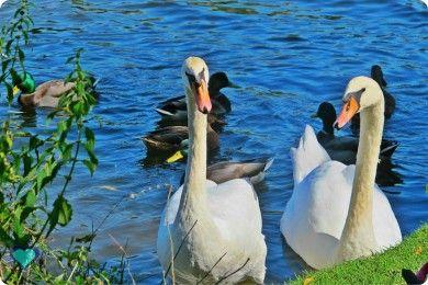 White swans on Avon