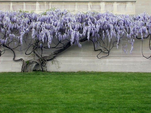 .great site (Ewa in the Garden); wisteria essentially as bonsai; not long flower variety in picture a couple before this one