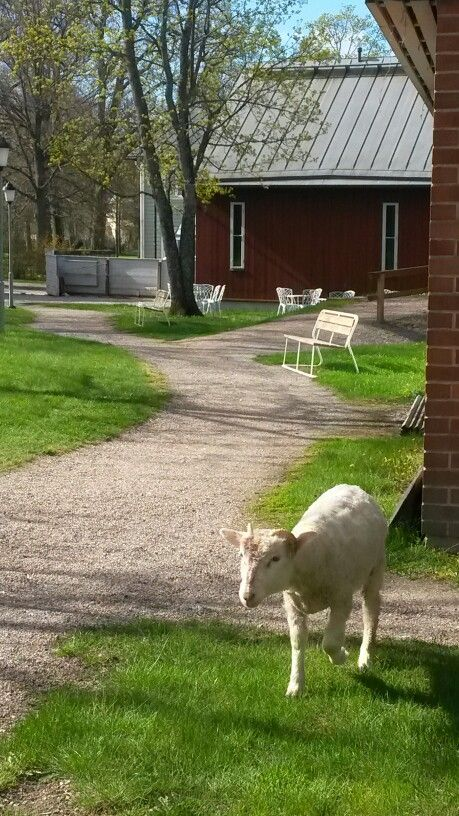 Hur många museum har ett eget får?! Monellako museolla on oma lammas?! How many other museums have their very own museum sheep?  #EKTAMuseumcenter #Ekenäs #Raseborg #Raasepori #Museum #Museo #Myworkplaceisawesome #Thisismyworkplace