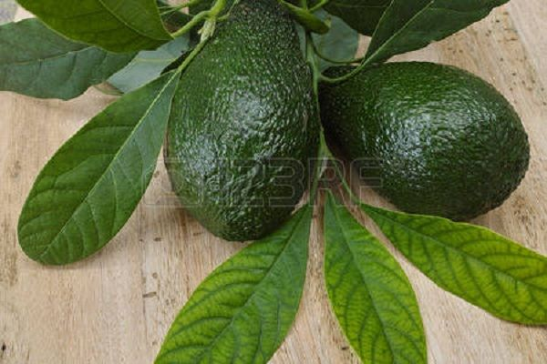 Health Benefits Of Avocado Leaves