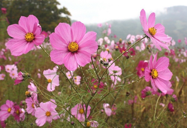 Cosmos flowers growing on an alpine plateau in Yuzawa, a mountain resort north of Tokyo