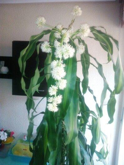 Tronco de Brasil en flor