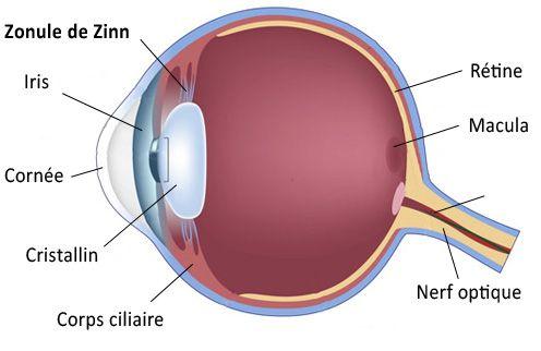 zonule | Examples of adjectives, Basement membrane, Eye ...