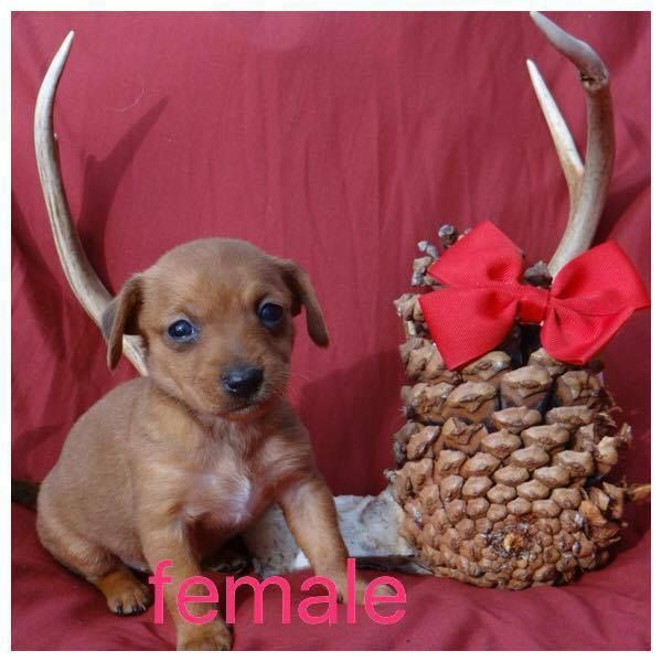 Mary Esther, FL - Chorkie-Chi pup #2 is an adoptable Chihuahua searching for a forever family;  LOCATED at Save UnderDogs, Mary Esther, FL
