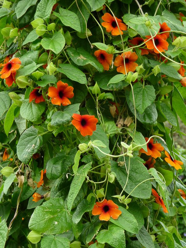 Suzanne aux yeux noirs 'Superstar Orange' | Suzanne aux yeux noirs, Jardins et Fleur jardin
