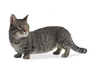"""Munchkin - El primer gato de patas cortas del que se tiene conocimiento. Los criadores de esta raza dicen que es un eterno cachorro, es activo, ágil, juguetón y muy afectuoso. También dicen que """"tienen la sobresaliente capacidad de esconderse bajo la cama sin agacharse"""". De todos modos el carácter está influenciado por los antepasados que tenga cada línea de cruzamiento."""