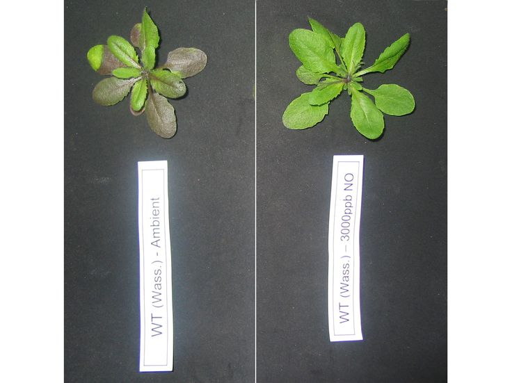 Scientists of Helmholtz Zentrum München have now discovered that Arabidopsis thaliana plants can fix atmospheric nitric oxide (NO) with the aid of plant hemoglobin proteins. Using this previously unknown mechanism these plants can contribute to the improvement of air quality.