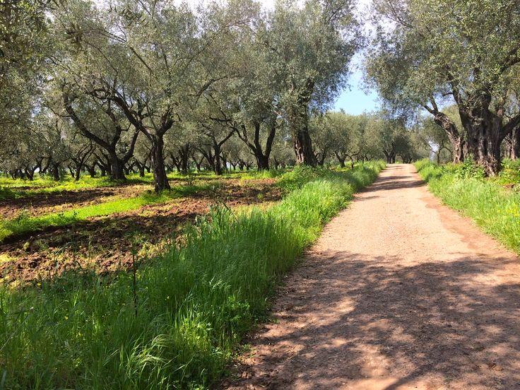 Olive trees in the horizon #terredimutari #olivegrove