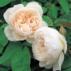 David Austin's The Generous Gardener Rose, in my garden, to remind me of my dad