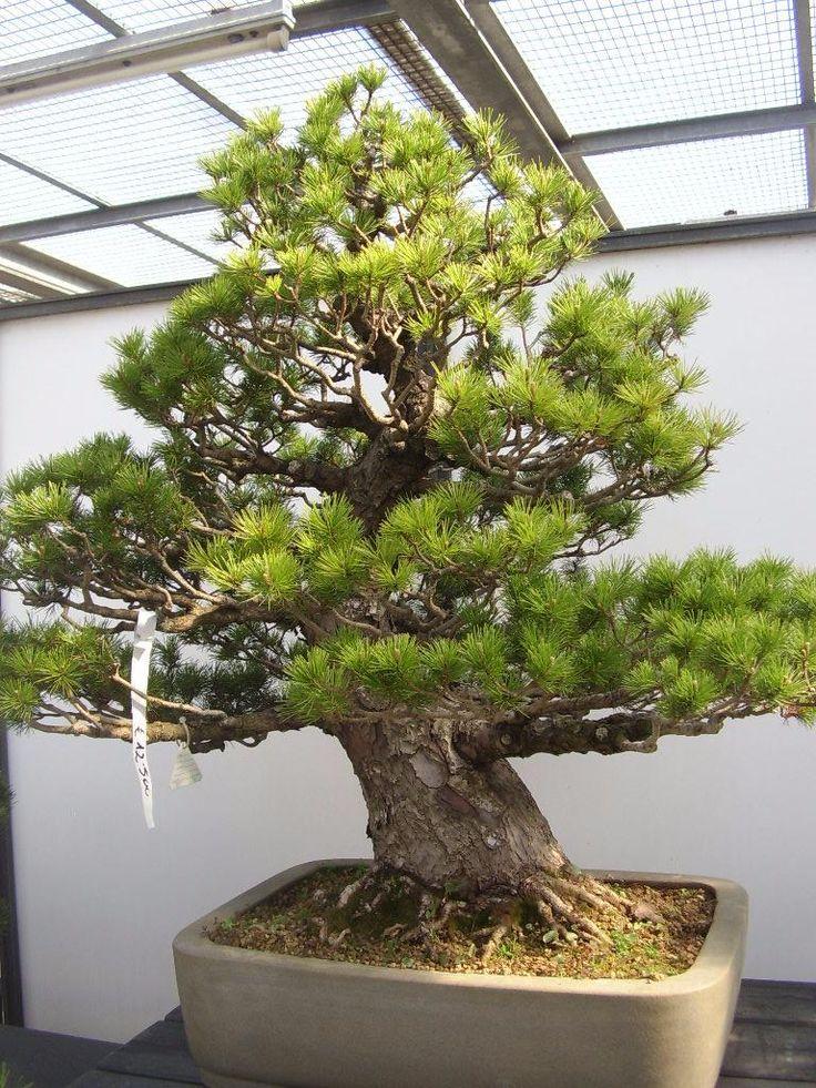 Excellent bonsai museum review of crespi bonsai for Bonsai italia