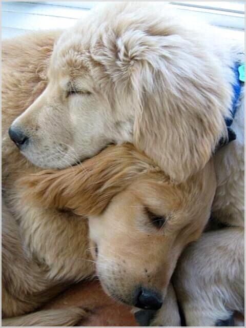 Lo que hace que mi sistema de entrenamiento para perros sea tan único   – Golden Retriever