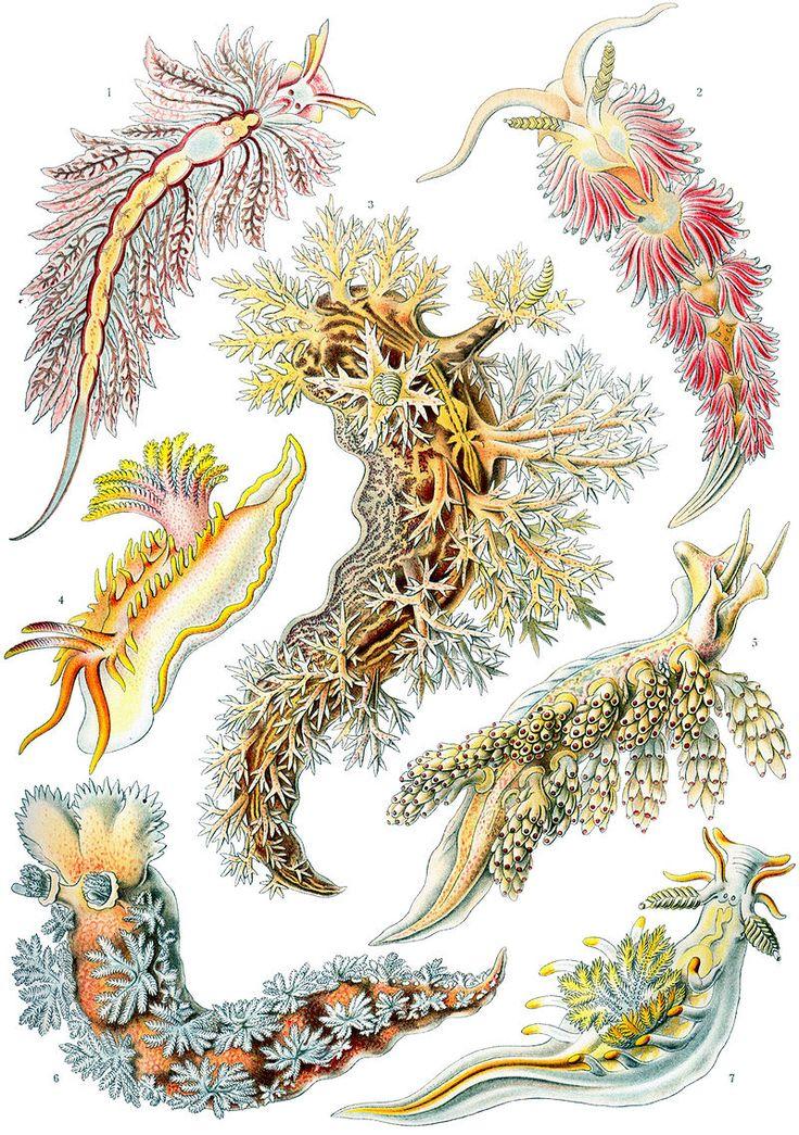 Ernst Haeckel - Nidibranchia