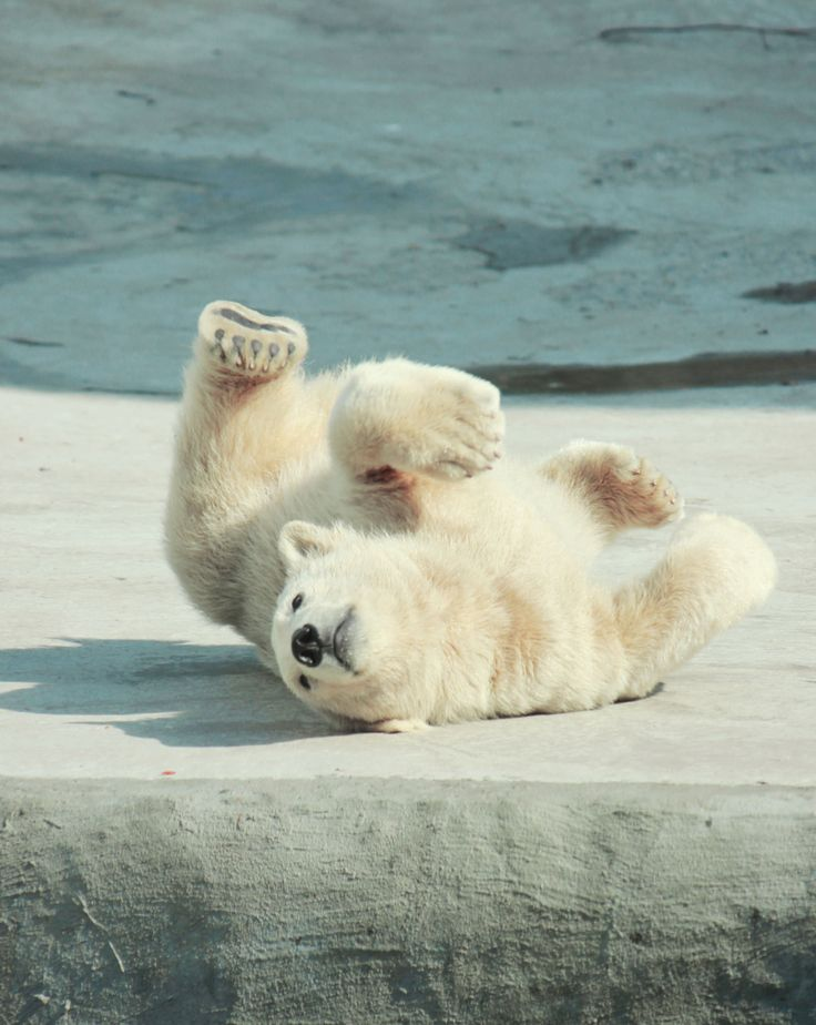 228 best Bear Necessities images on Pinterest | Polar ... Panda Cubs Playing In Snow