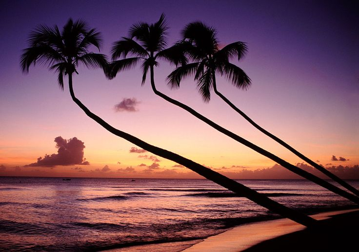 Palm trees at sunset on a Barbados beach.Caribbean Sunsets, Barbados Sunsets, Favorite Places, Beautiful Barbados, Barbados Starfish, Beautiful Sunsetssunri, Amazing Places, Travel, Beautiful Things