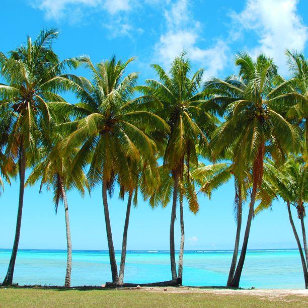 Küba'nın milli ağacı; Real Palmiye  bit.ly/mngturizm-yurtdisi-turlari-kuba-turlari-782015