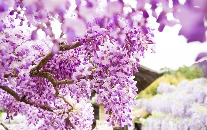 Lataa kuva Vaaleanpunaiset kukat, wisteria, kukinnan, puutarha, kauniita kukkia, vaaleanpunainen wisteria