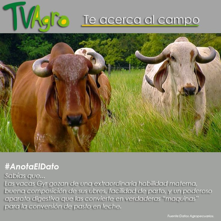 #AnotaElDato Las vacas Gyr verdaderas maquinas de leche.