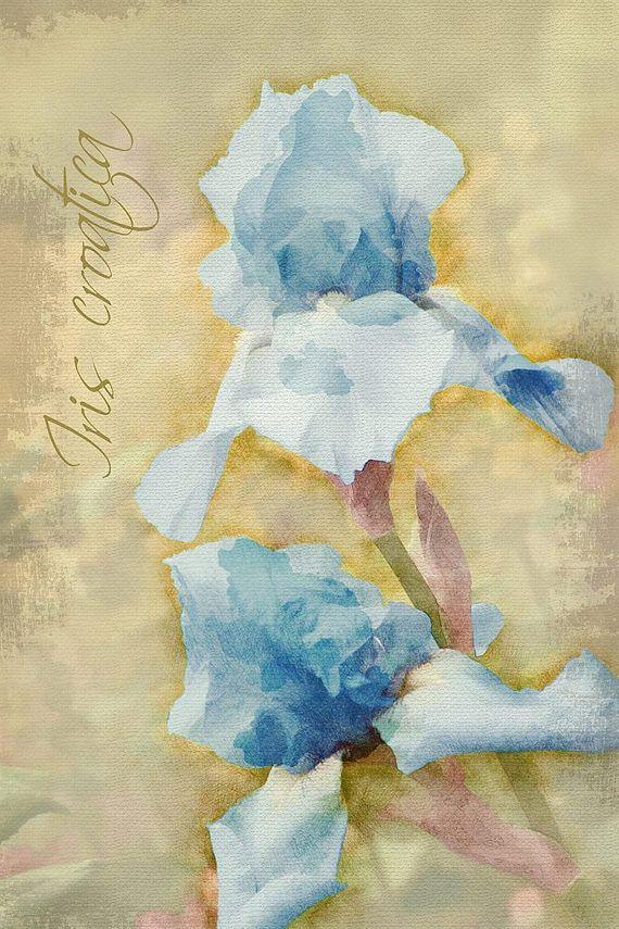 Iris croatica  Digital Download Art botanical print floral