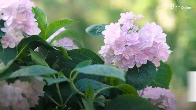 Der richtige Zeitpunkt für den Schnitt hängt von der Sorte ab. Ein einfacher Trick sorgt für noch mehr Blütenfülle.