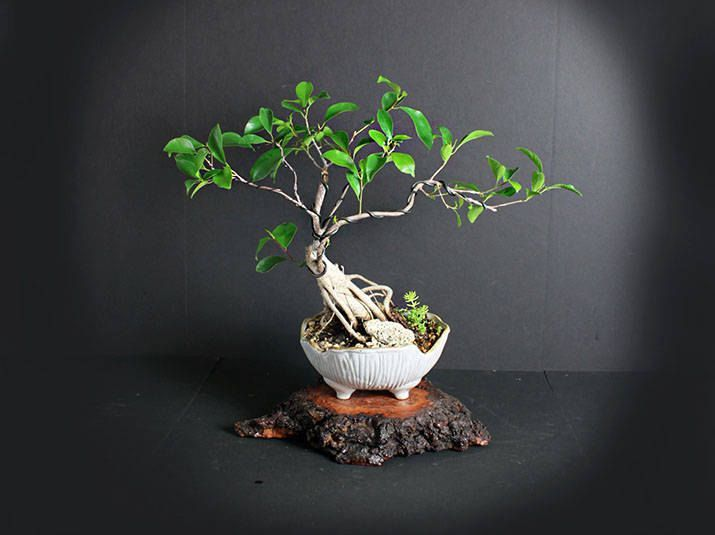 Ficus microcarpa bonsai tree, Indoor bonsai collection from LiveBonsaiTree by LiveBonsaiTree on Etsy