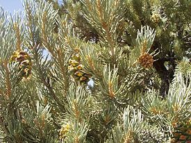 Nevada State tree Single-leaf Pinyon Pinus monophylla Single-leaf Pinyon (Pinus monophylla subsp. monophylla) leaves and immature cones