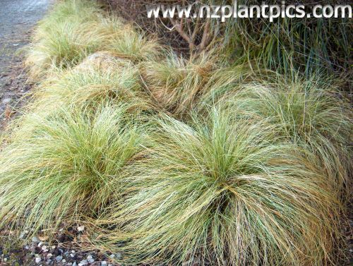 Carex comans, green form - (Longwood tussock, maurea) New Zealand native low-growing sedge grass with drooping creeping leaves. Grows to 0.4m tall and is tolerant of most conditions. Excellent planted in groups for edging or groundcover.