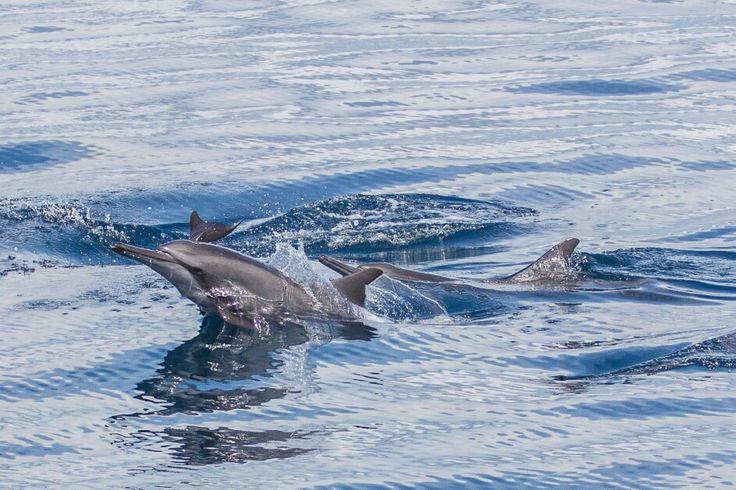 Spiner dolphin raja ampat